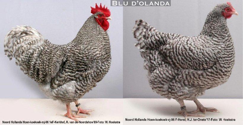 Pollo dellOlanda del Nord Gallo e Gallina