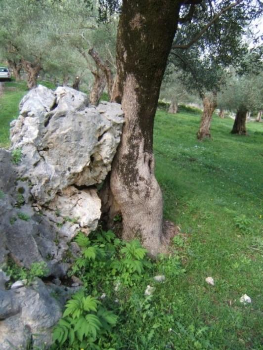 oliveti del Parco