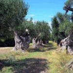 Xylella, olivicoltura: quanto è dannosa per l'ambiente la Favolosa in intensivo?
