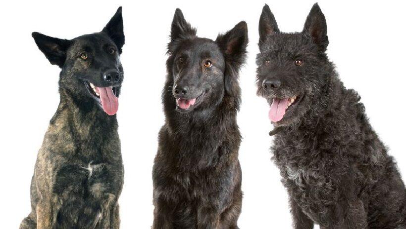 Cane da Pastore Olandese varietà colore