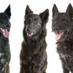 cane da pastore olandese