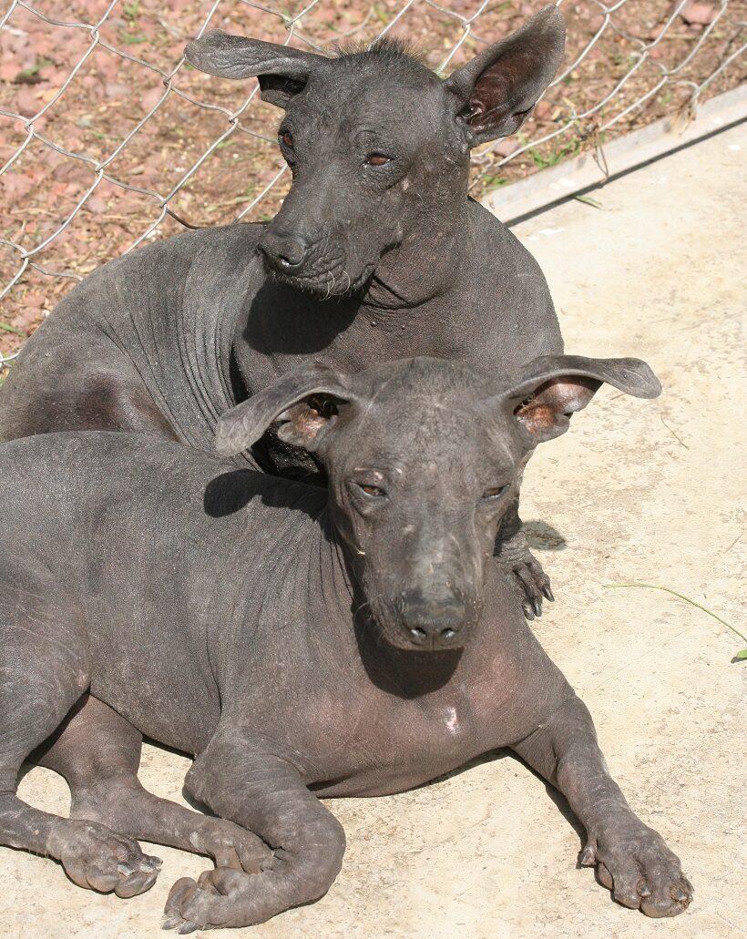 Soggetti di razza Xoloitzcuintle