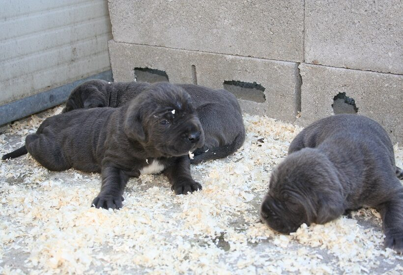 Cuccioli di Mastino Napoletano