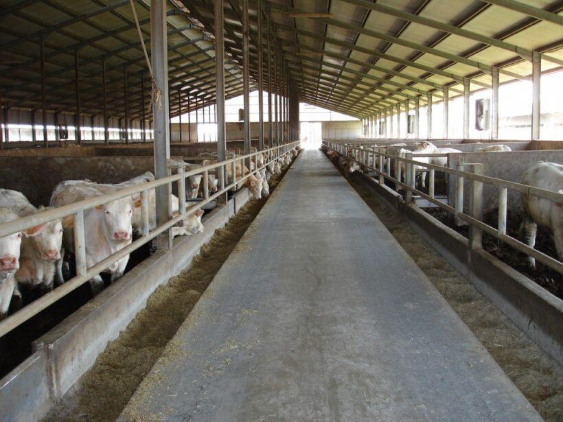 Allevamento di bovini da carne