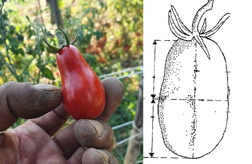 Pomodoro Corbarino