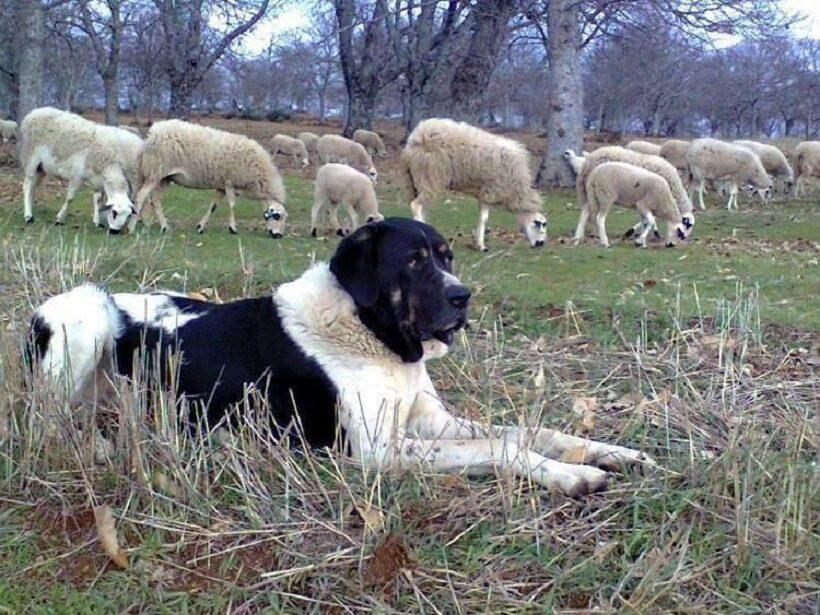 Cão de Gado Transmontano che sorveglia il gregge