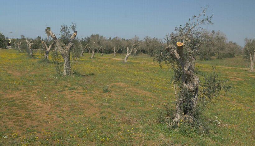 Panoramica dall'alto di un campo di olivi capitozzati e tagliati