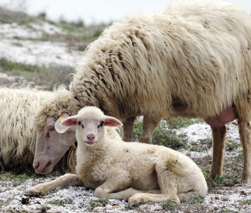 Pecore di razza Sarda
