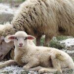Pecore Sarde