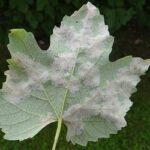 Malattie infettive delle piante e virulenza dei patogeni (seconda parte)